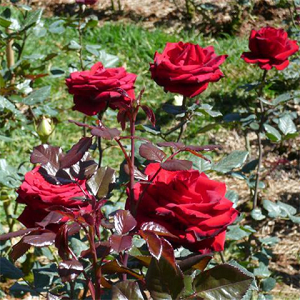 Hoa hồng – nàng tiên sắc đẹp vị thuốc độc đáo