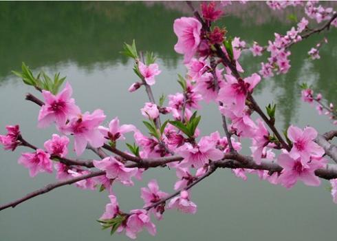 Hoa đào – Vị thuốc quý của mùa xuân