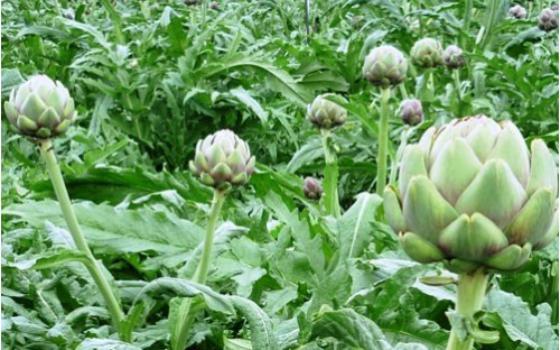 Hoa Actisô – vị thuốc mát gan lợi tiểu