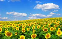 Hoa hướng dương loài hoa đẹp chữa nhiều bệnh