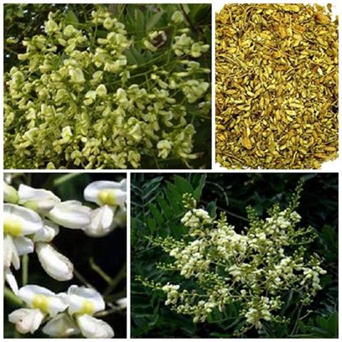 Hoa Hòe –vị thuốc tuyệt hay